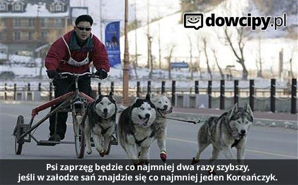 Psi zaprzęg będzie co najmniej dwa razy szybszy, jeśli w załodze sań znajdzie się co najmniej jeden Koreańczyk.